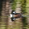 The Beautiful  Hooded Merganser