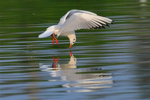 20120205-Black-headed-Gull-NSW-cntlaw-dpreview1
