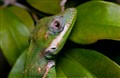 Cuban Anole Lizard - A Master of disguise.