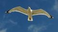 Hornsea Seagull