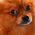 Pomeranian - CROPPED