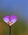 Viola Tricolor - simple beaty