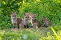 Red Fox kits usually emerge from the den in May