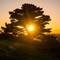 Sunet through Scots Pine Tree