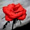 red-rose-web
