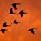 Cranes returning at Sunset DSC1427