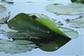 the wetland leaf