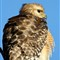 Red Shouldered Hawk - Fluffy