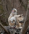 Two great horned owlet in their nest with food