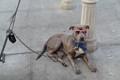 SWAG Dog in LA