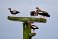 Whistling Ducks at the wetlands