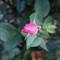 Last rosebud of the summer