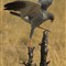 5pale chanting goshawk