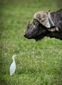 Water Buffalo and Ox Picker Bird with Egret Looking On