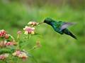Hummingbird in the wild-sage flower