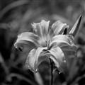 b&w-flower-15