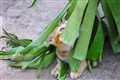 cute kitty is hiding under banana leave