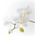Orchidee 009b