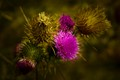 Seeds blown by the wind allow thistle to germinate even on the edges of well groomed areas.