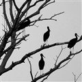 black storks on a bare popler