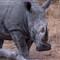 Rhino01_sm