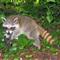 raccoon_pose_20040702_059