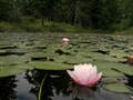 water lily from the waters edge perspective
