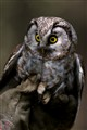 Mother of fledglings (Tengmalm's Owl)