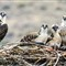 THE OSPREY FAMILY