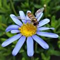 A Feeding Hoverfly