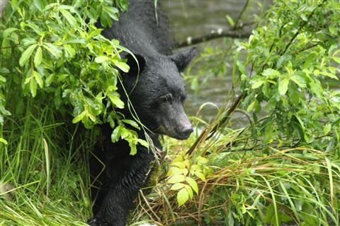 bears1 004