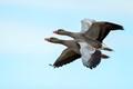 greylag geese in synchron flying