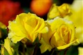 Emerald Isle Yellow Roses