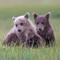 Grizzly Bear Cubs - Lake Clark National Park