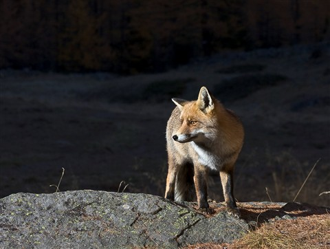 PaoloMignosa_Fox1_wildlife