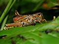 Eastern Lubber Grasshoppers (Romalea microptera) - Sugar Mill Botanical Gardens, Port Orange, FL, USA - Date taken - 7/28/15, 11:19 AM - Photo ID - DSCF8128 - Camera - FinePix X-S1 © 2015 Bill Elvey