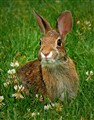 bunny in the rough