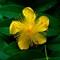 St-Johns-Wart-Yellow-Flower-Web