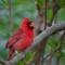 Chirping Cardinal