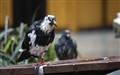 Chicago Pigeon