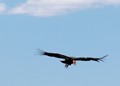 Condor flying over the Grand Canyon