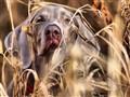 jungledog