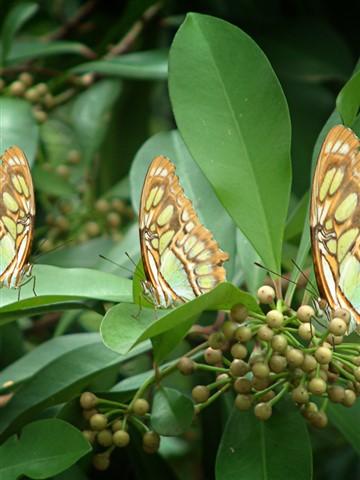 SFW-2-butterfly