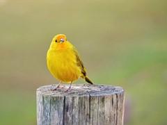 Little yellow beauty