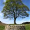 The Lone Sycamore Tree, Hadrian's Wall, Northumberland