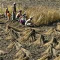 A Family Harvesting, Manang, Nepal-2