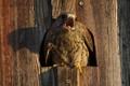 Male kestrel nesting in a barn