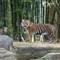 Tiger-033375