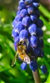 Grape Hyacinth & Visitor