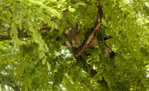 A couple pigeons in the acacia 2012